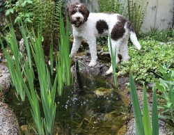 Baron Barnaby, Lagotto Romagnolo, Wasserhund